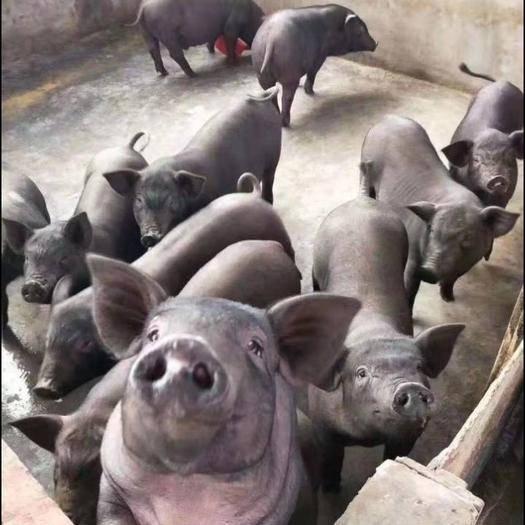 四川省成都市彭州市蘇太母豬 20-25斤