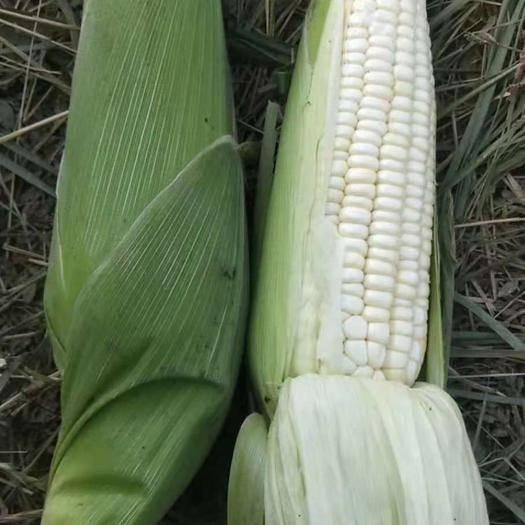 河南省周口市項城市 新鮮白糯玉米黏玉米