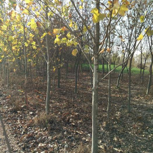 江蘇省連云港市東海縣法國桐樹 五年以上法桐樹苗