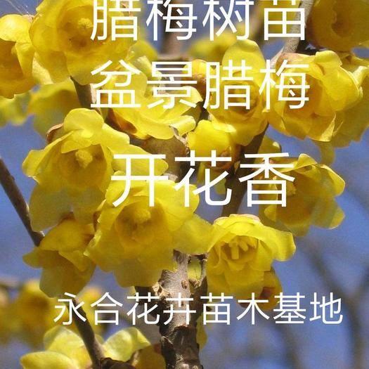 山東省臨沂市平邑縣 臘梅花樹苗梅花喜歡滿天雪,現挖現發, 基地直銷,誠信經營。