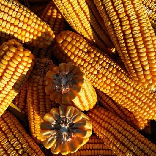 吉林省四平市公主嶺市雜交玉米粒 大量供應玉米