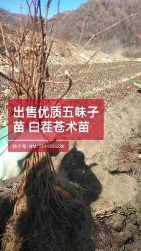 遼寧省撫順市新賓滿族自治縣 出售優質五味子苗  刺槐苗  蒼術苗