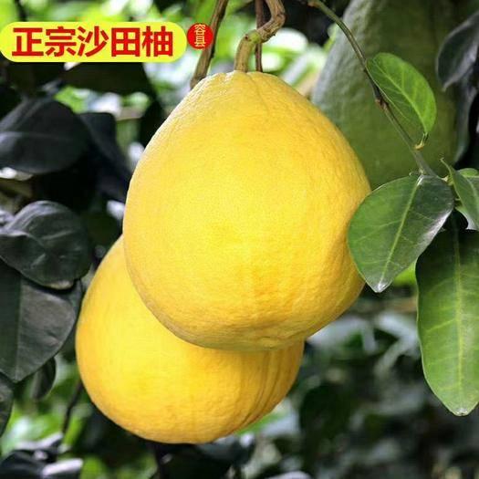 廣西壯族自治區玉林市容縣 容縣特產沙田柚自家種植