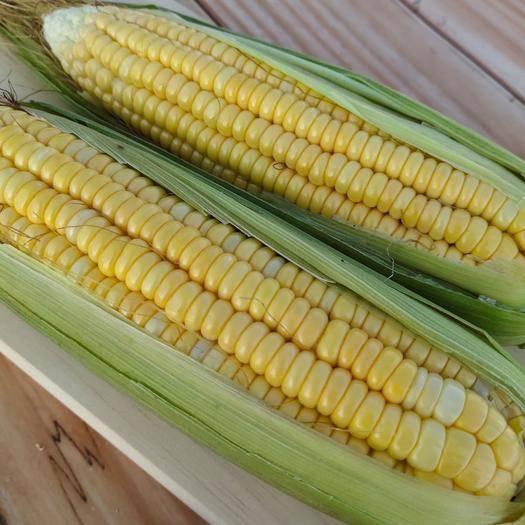 河南省周口市項城市 水果玉米甜玉米