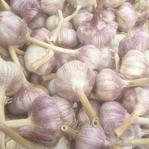 山東省濟寧市金鄉縣金鄉大蒜 5~5.5cm 多瓣蒜