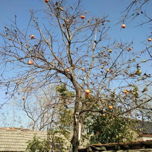 江蘇省連云港市東海縣火晶柿子苗 三十年樹齡柿子樹