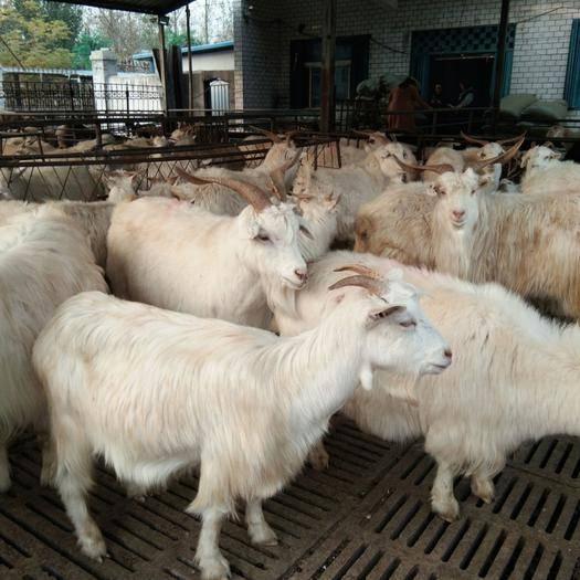 山東省濟寧市嘉祥縣 注意。代朋友。急用錢低價出售一批各種各樣的山羊。青山羊。白山