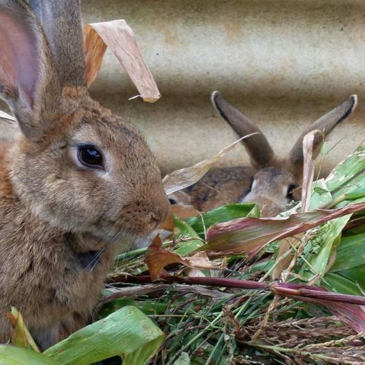 云南省曲靖市師宗縣 長年出售大小不同的野兔。