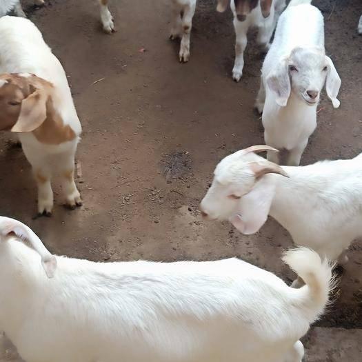 山東省泰安市新泰市 肉羊出欄的朋友抓緊選購
