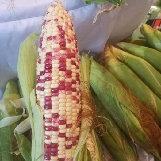 河南省鄭州市二七區 彩甜糯玉米種子  彩甜糯玉米種子  2斤一畝地
