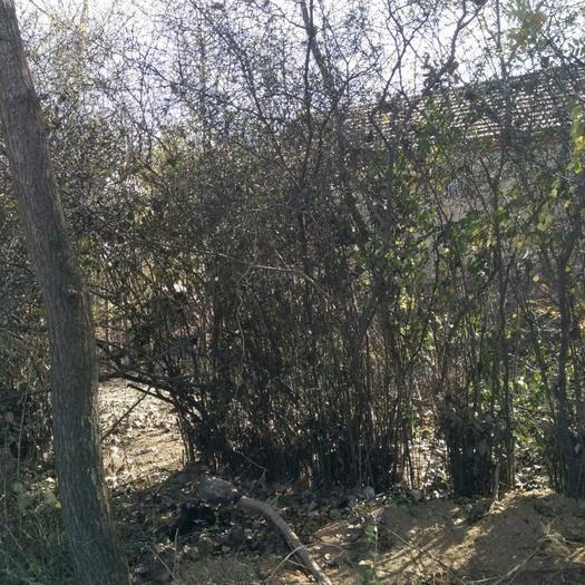 江蘇省連云港市東海縣枳實種苗 四十年樹齡枳實樹