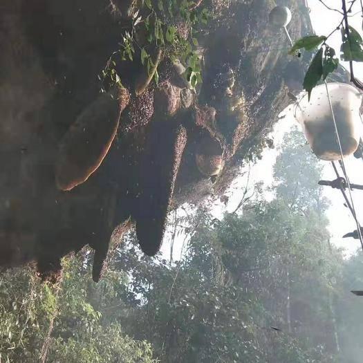 云南省怒江傈僳族自治州瀘水市 巖壁掛蜂蜜