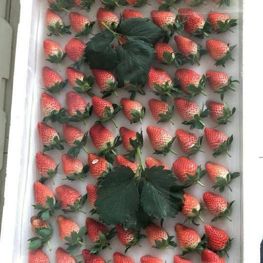山東省濟南市歷城區甜寶草莓 20克以上