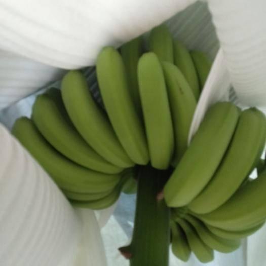 云南省紅河哈尼族彝族自治州金平苗族瑤族傣族自治縣 剛上市的香蕉,,,,顏色各方面都還可以,喜歡騷擾