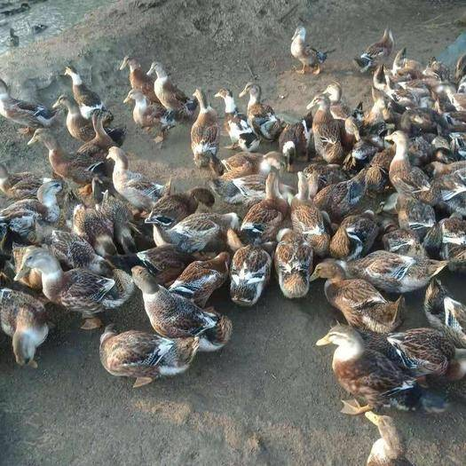 廣西壯族自治區南寧市上林縣麻鴨 60至70天平均5.5斤左右