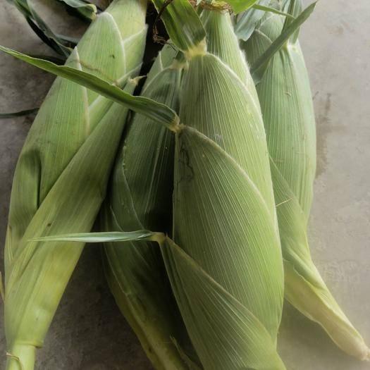 廣西壯族自治區南寧市橫縣甜玉米 甜 帶殼
