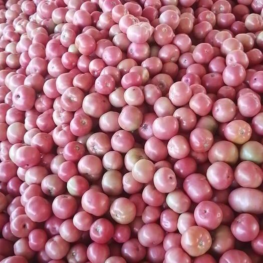 云南省楚雄彝族自治州元謀縣 精品硬粉西紅柿