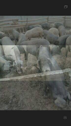 河北省唐山市遷安市良種種豬苗 自繁自養