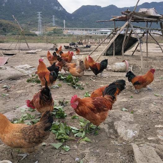 貴州省貴陽市花溪區 散養土雞