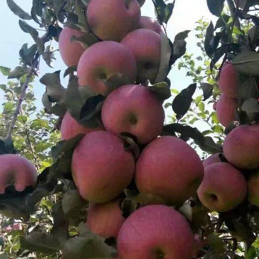 云南省昭通市昭陽區 昭通老農民自己種植的蘋果無中介