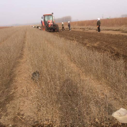 遼寧省朝陽市建平縣 專門從事新品種各種沙棘苗培育,改良,訓化,苗木品種純正。