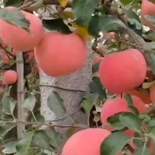山東省煙臺市棲霞市 煙臺紅富士蘋果