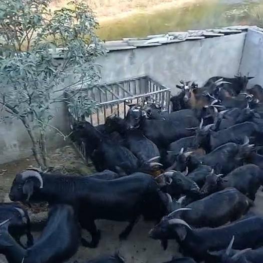 湖南省常德市桃源縣 純放養山羊