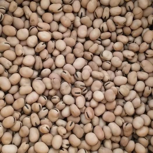 甘肅省隴南市武都區羊眼蠶豆 武都羊眼豆現己大量上市,無蟲無公害,品質優良。