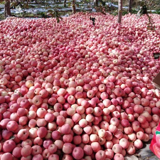 陜西省渭南市澄城縣 陜西紅富士蘋果,紙袋,條紅。75起步通貨約兩萬斤。現貨銷售
