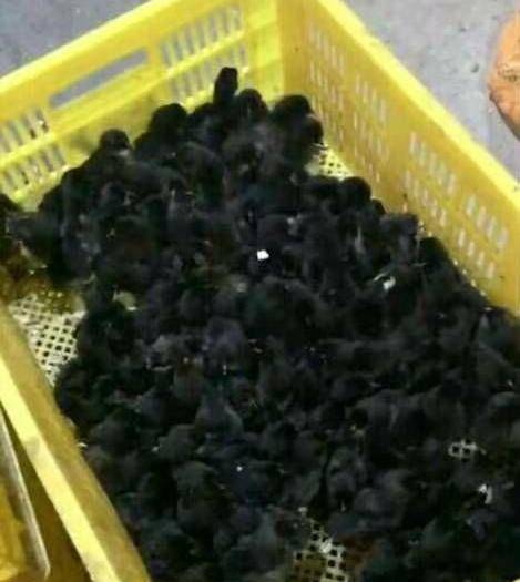 廣西壯族自治區南寧市西鄉塘區五黑雞苗 五黑雞