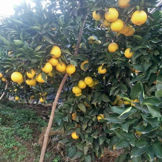 湖南省懷化市麻陽苗族自治縣麻陽冰糖橙 原生態水果