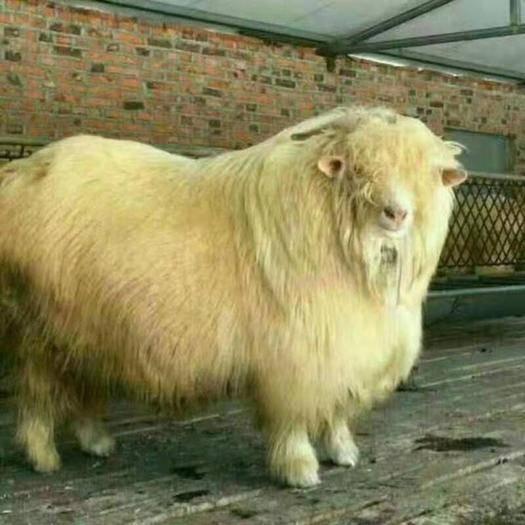 遼寧省營口市蓋州市 精品種公羊,母羊,精品母羔。