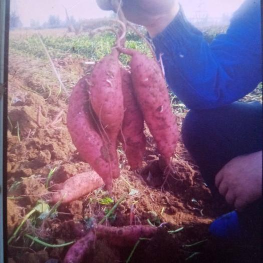 山西省長治市屯留區 板栗紅薯,大量供應