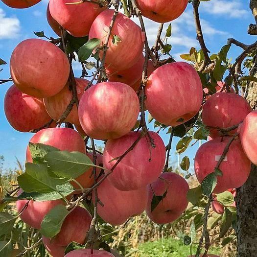 山西省運城市平陸縣 山西脆蘋果新鮮紅富士脆甜一整箱10斤一件代發包郵