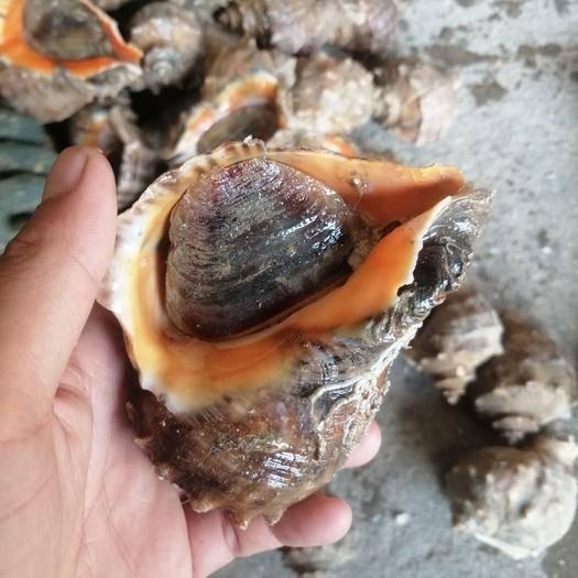 江蘇省連云港市贛榆區 薄殼海螺,殼薄、個大、肉肥,出肉率高,懂行的來,