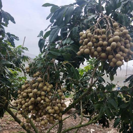 海南省東方市東方市 海南反季節龍眼,從開花到成熟都是農民精心照顧的。龍眼都是現賣