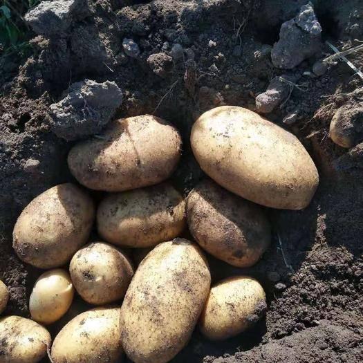 河北省張家口市張北縣 土豆種子v6/思凡特都是原種