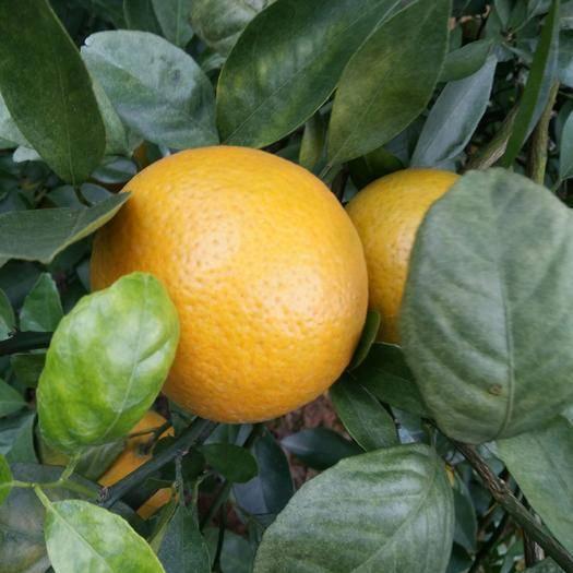 廣西壯族自治區南寧市武鳴區皇帝柑 我們只是新鮮水果的愛好者