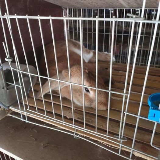 山東省濟寧市嘉祥縣比利時兔 伊拉兔 比利時 公羊兔 寵物兔 品種多多