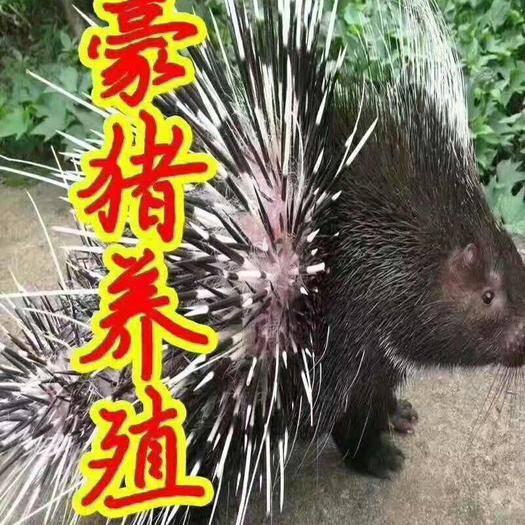 陜西省渭南市華州區 商品豪豬出售