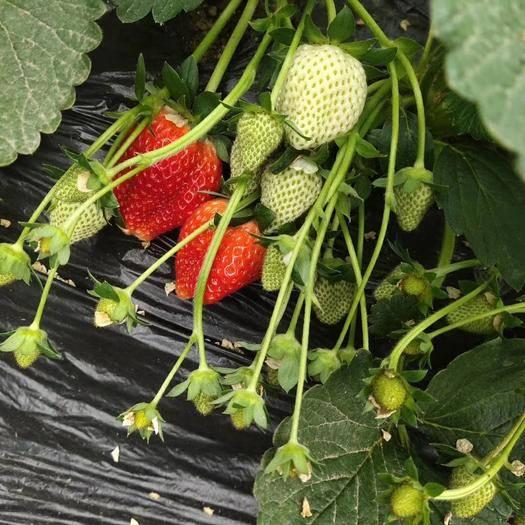河北省唐山市樂亭縣 草莓果即將大量上市