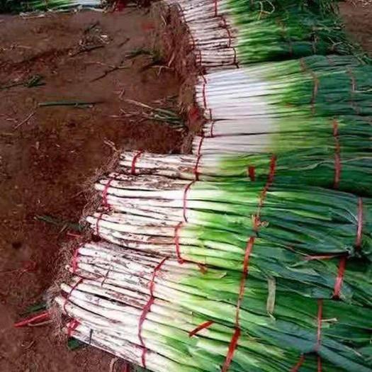 山東省棗莊市滕州市 出售長白大蔥和鐵桿鋼蔥