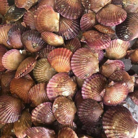 山東省煙臺市萊州市 港灣貝扇貝,可做小包裝 網紅扇貝