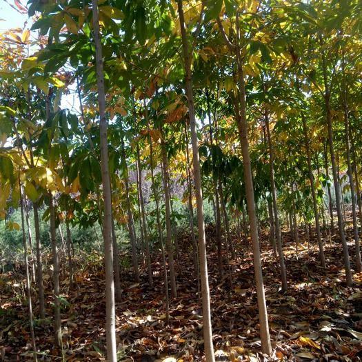 陜西省西安市長安區 出售七葉樹苗