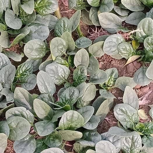 河南省開封市杞縣 千畝精品小棵菠菜大葉園葉地趴型現已大量上市