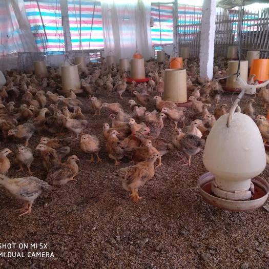 廣西壯族自治區南寧市邕寧區靈山土雞 三十五天脫溫雞預售疫苗齊全
