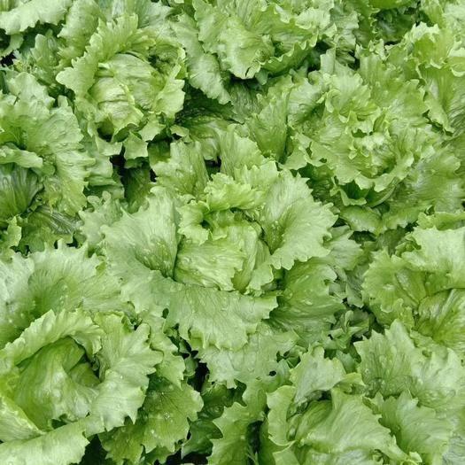 云南省曲靖市宣威市 云南球生菜一年四季低價0.5一顆,量大質量一流