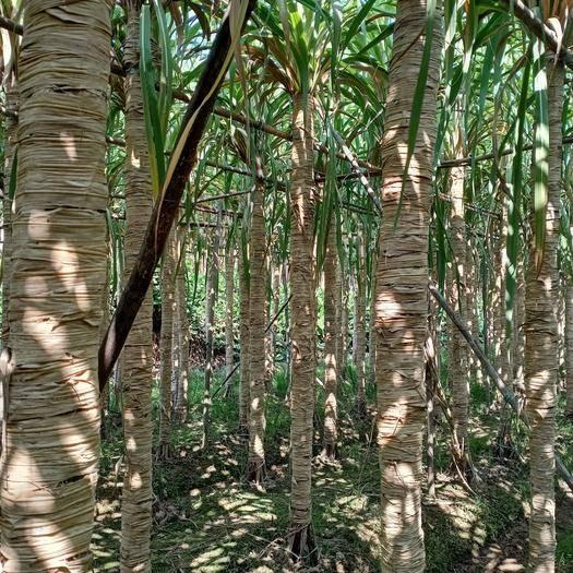 廣西壯族自治區貴港市港南區 木格白玉甘蔗