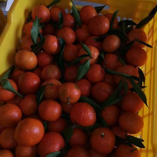 廣西壯族自治區柳州市鹿寨縣 東方紅,靚不靚你們說的算,還有大量南豐蜜桔口感很好