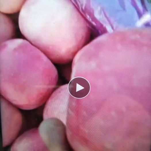 河北省秦皇島市昌黎縣紅富士蘋果 全部好果,20萬斤沒問題